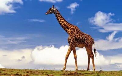 I cristiani della giraffa